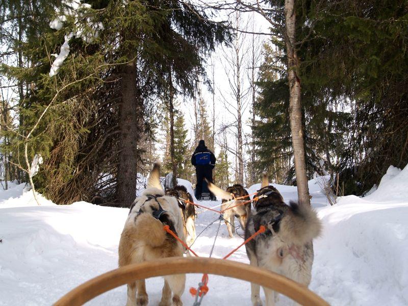 Excursión trineo tirado por perros husky en Laponia