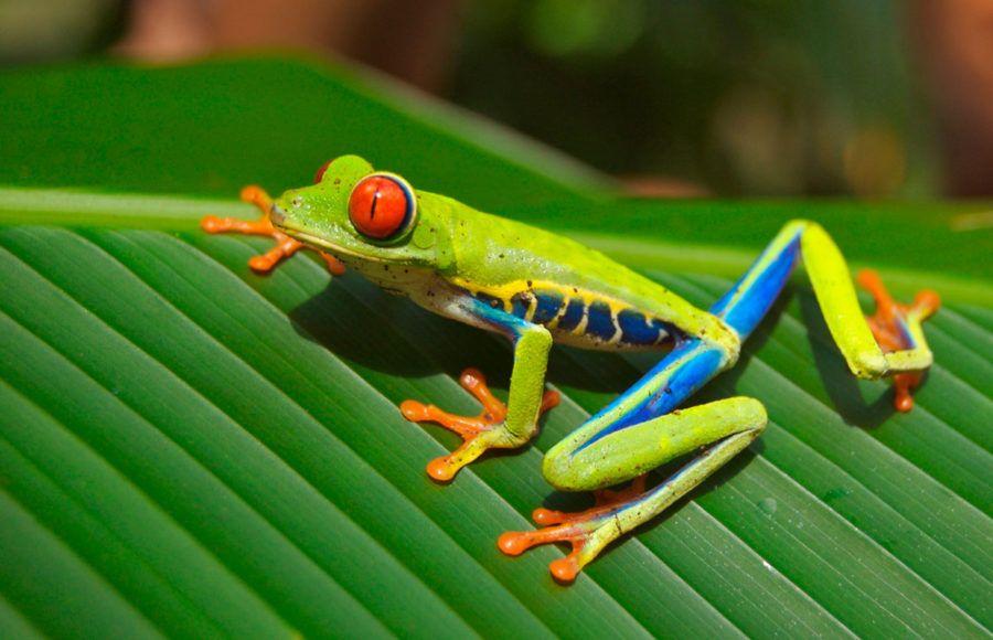 Rana de ojos rojos Costa Rica viajes familia