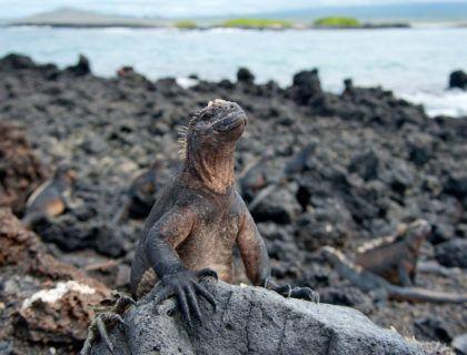 iguana marina islas galapagos aventura
