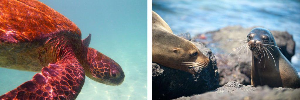 tortuga marina lobo mar islas galapagos