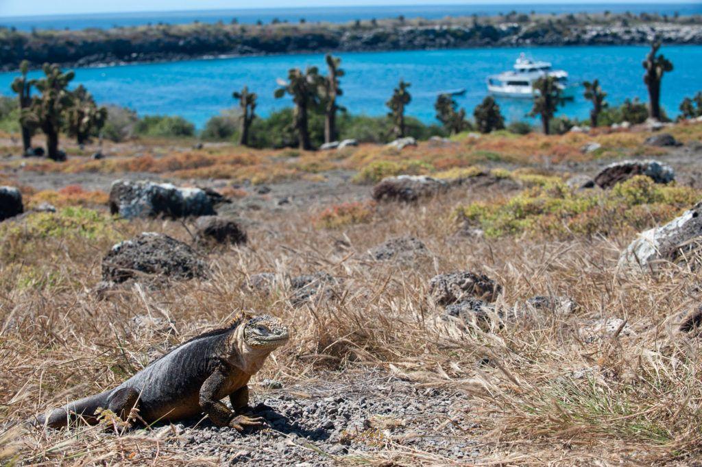 iguanas terrestres islas galapagos