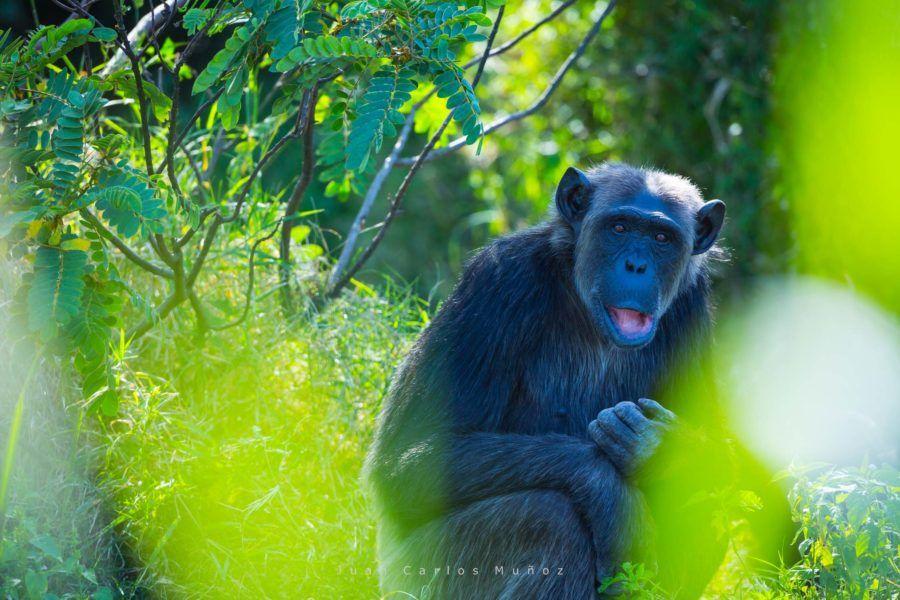 chimpances en kenia, viajes mujeres kenia, que ver en kenia
