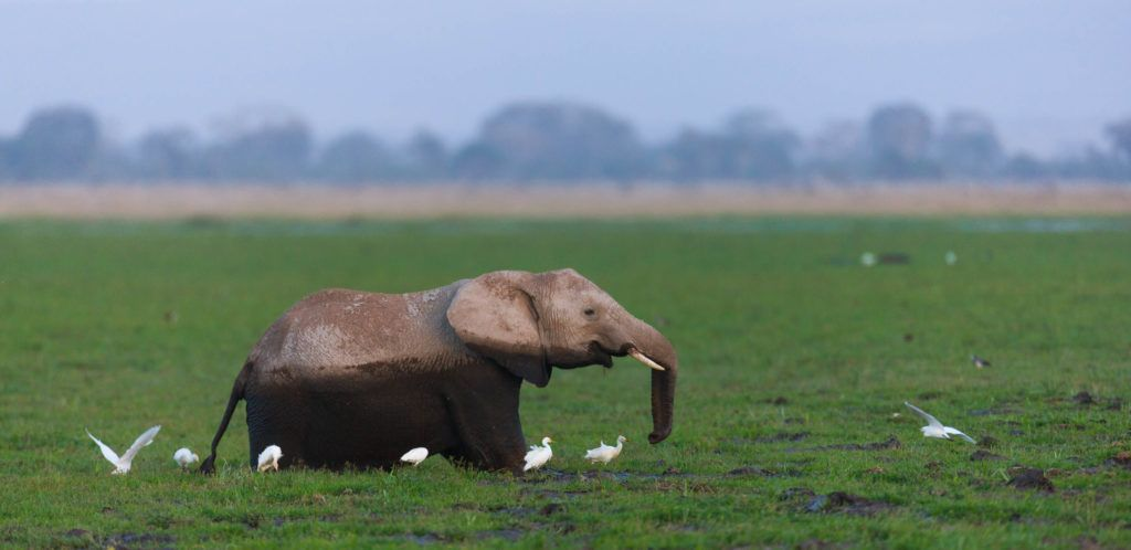 Elefante africano, Parque Nacional de Amboseli, Kenia, Africa