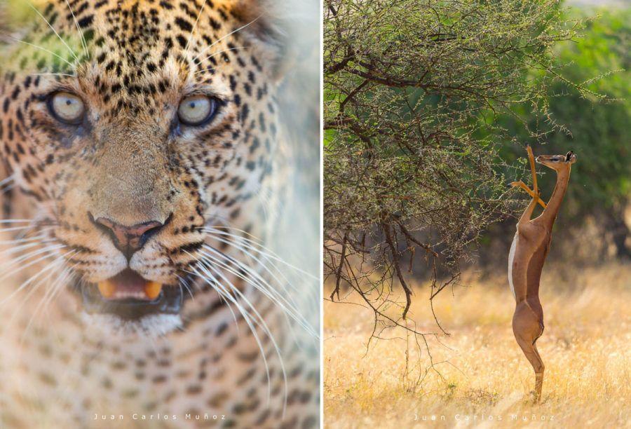 felinos en kenia, viaje mujeres kenia, gacela jirafa en kenia
