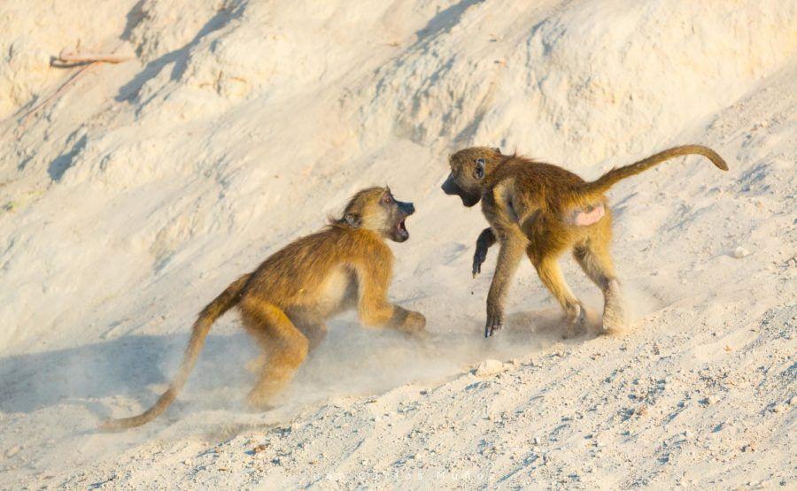 babuinos en bostsuana, fauna de africa, safaris en bostuana, viajes naturaleza, viajes para mujeres