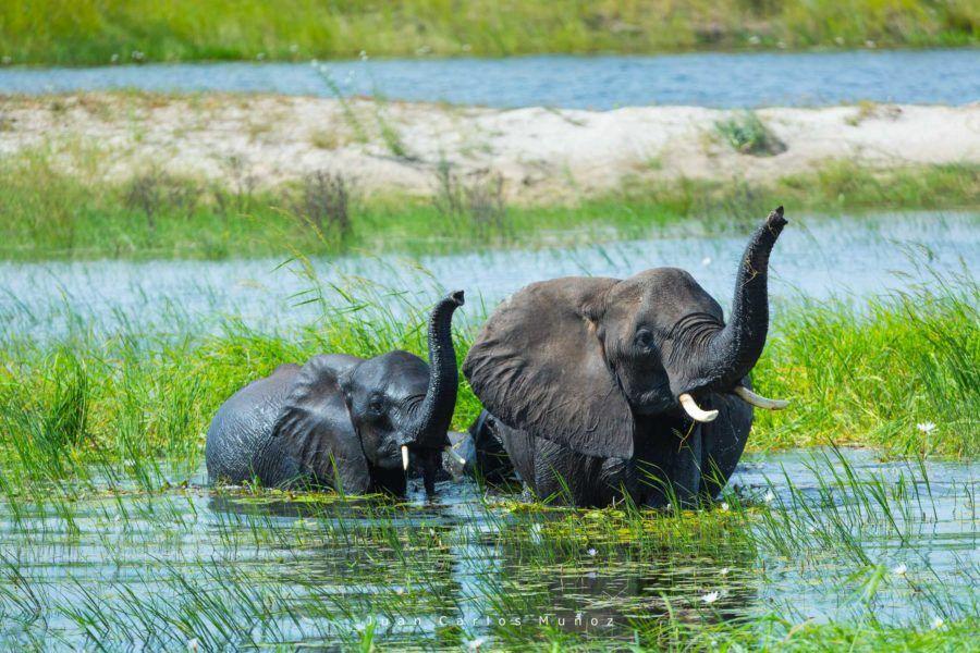 elefantes africanos, fauna de africa, safaris en bostuana, viajes naturaleza, viajes para mujeres