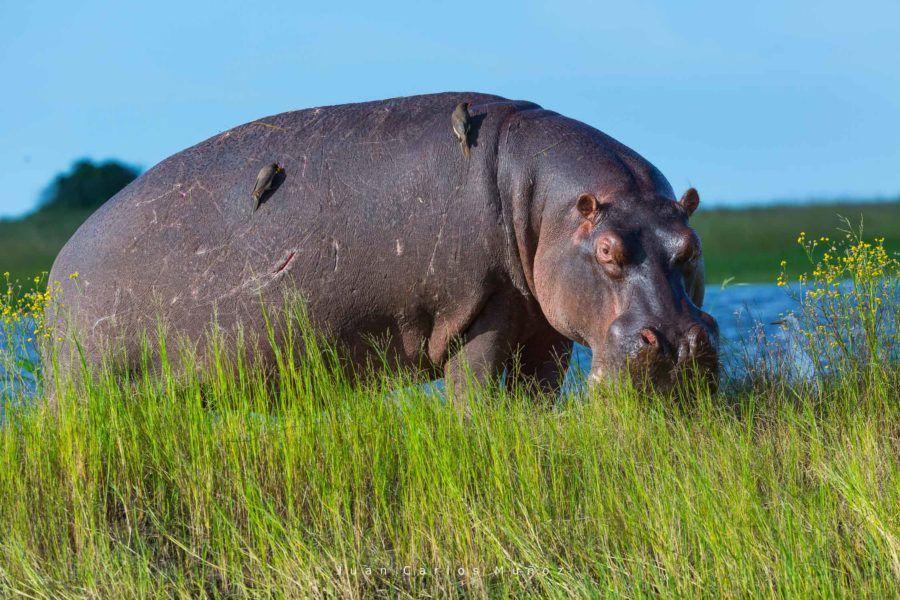 hipopotamos rio chobe, fauna de africa, safaris en bostuana, viajes naturaleza, viajes para mujeres