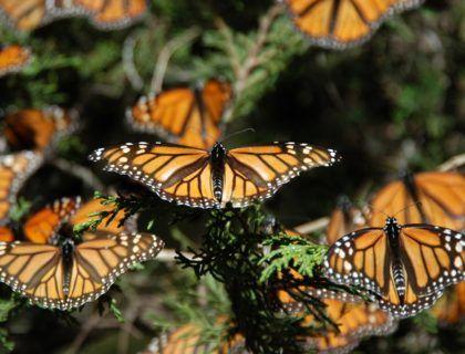 Mariposas monarca, viaje a michoacan, mariposas en mejico