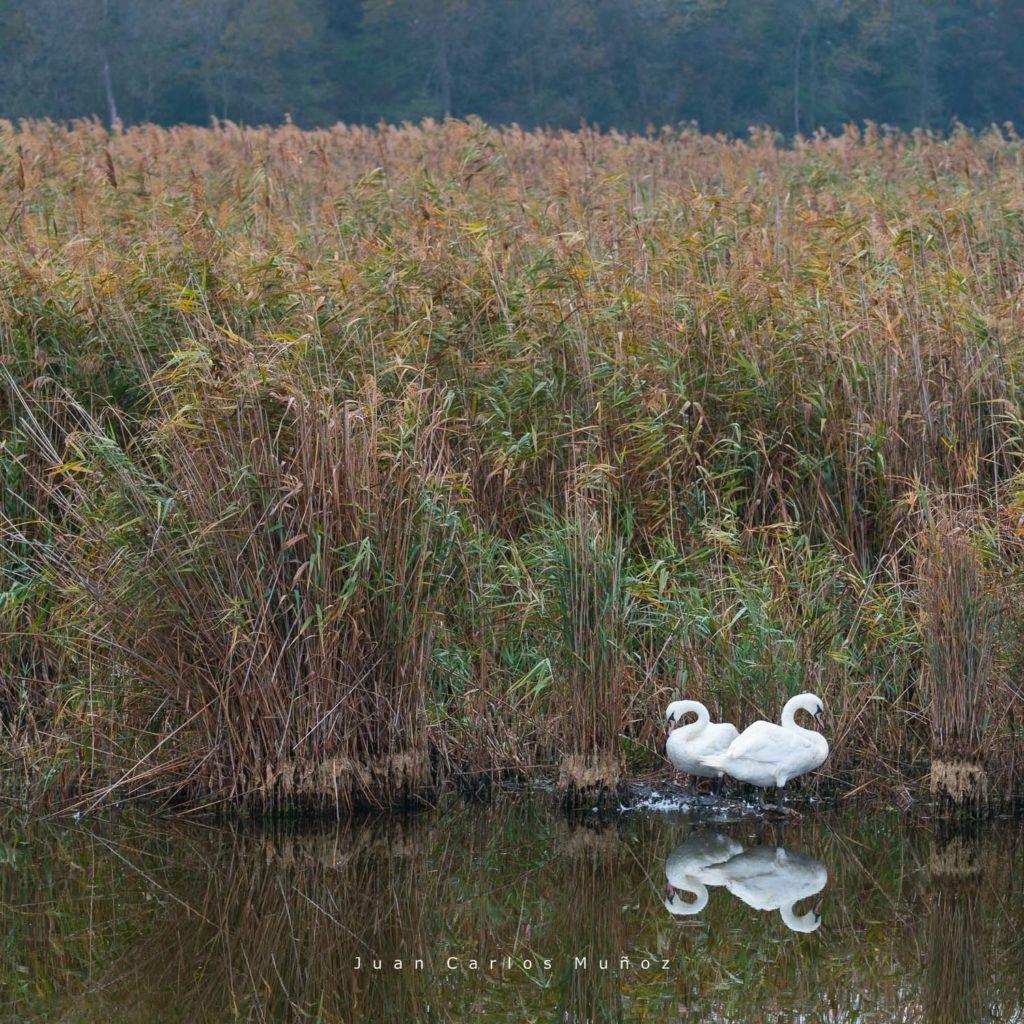cisnes en el delta del danubio, viajes al delta del danubio, visitas en delta danubio