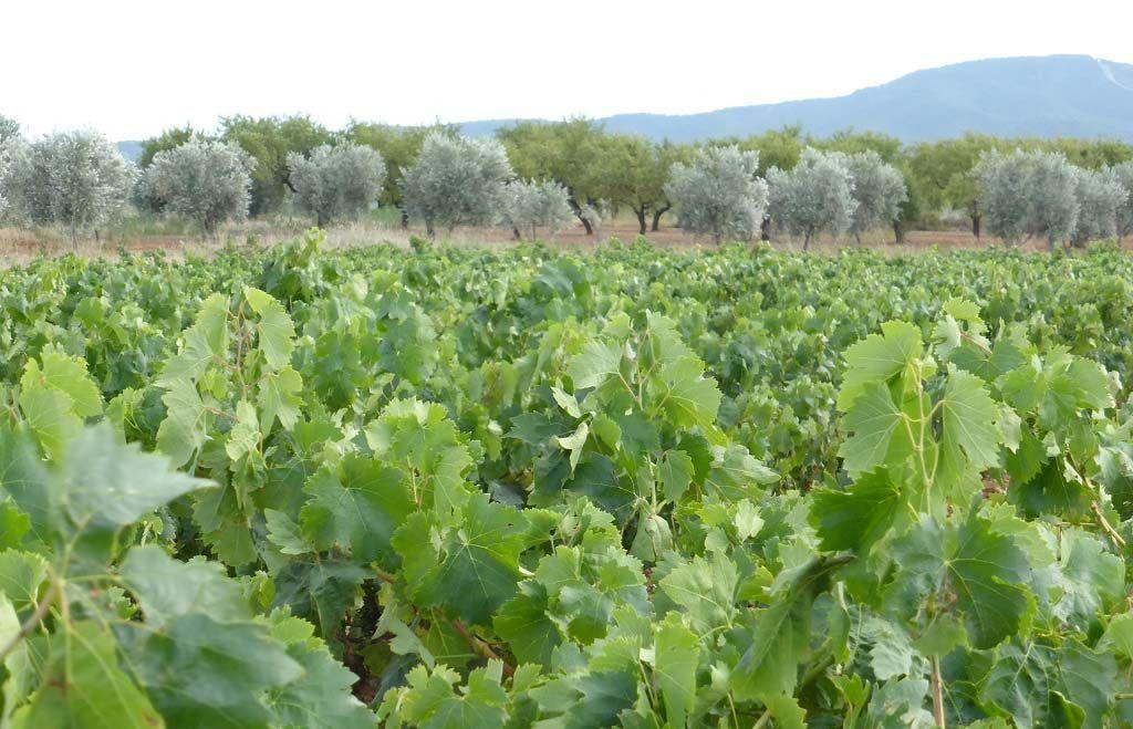 olivos y vinedos en la rioja, ruta gastronomica la rioja, platos tipicos en la rioja