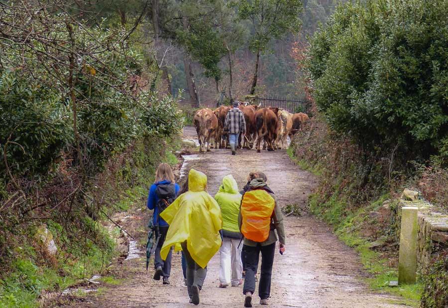 camino santiago, peregrinos y vacas