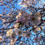 floracion almendros, quinta los molinos, madrid