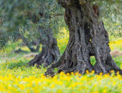 olivos sierra de las nieves, olivos malaga