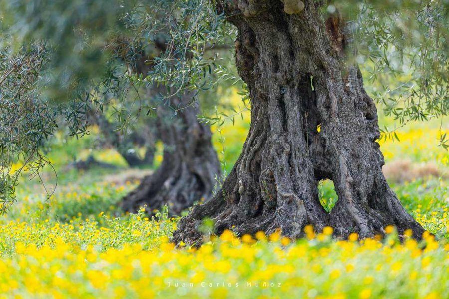 olivos sierra de las nieves, olivos malaga, naturaleza malaga