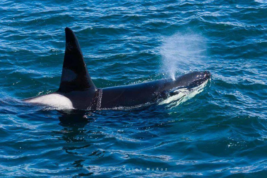ballenas, islas shetland, viaje escocia