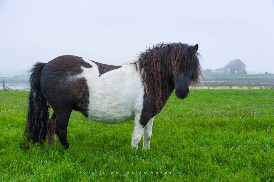 poni, islas shetland, viaje escocia