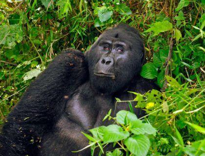 ver gorilas uganda, gorilas en africa