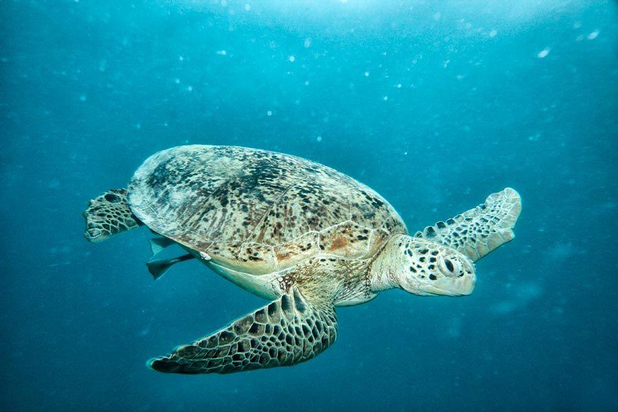 tortuga verde, nadar con tortugas en malasia