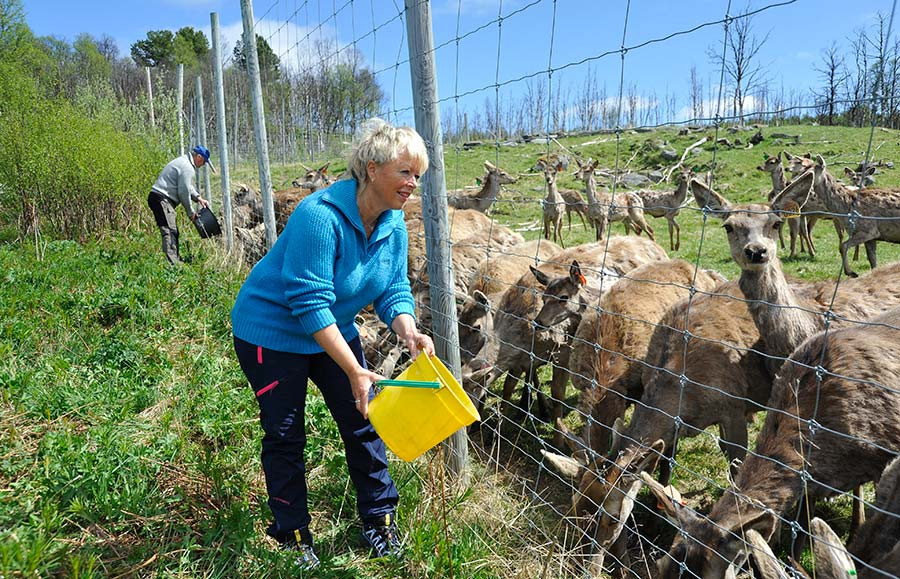 Granja de renos Torsvoll, roros noruega