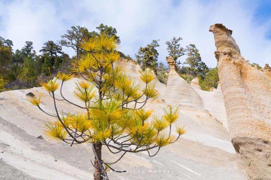 Canary pine tree, Moon Landscape, Corona forestal Natural Park, Vilaflor, Tenerife island, Canary islands, Spain, Europe