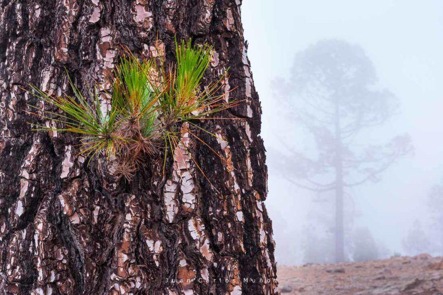 pinos canarios en el parque nacional del teide