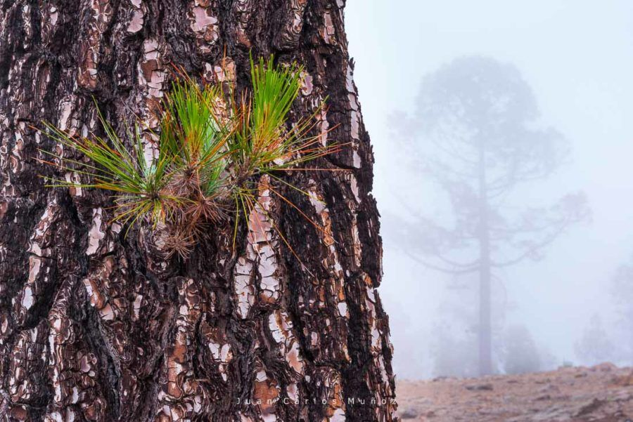 Canary pine tree, Corona forestal Natural Park, Tenerife island, Canary islands, Spain, Europe