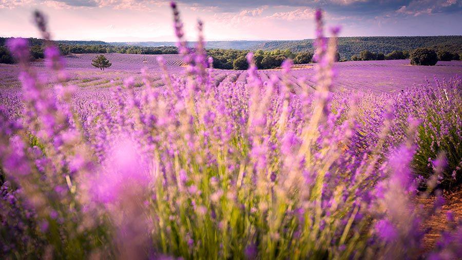 flores de lavanda, campos provenza espana