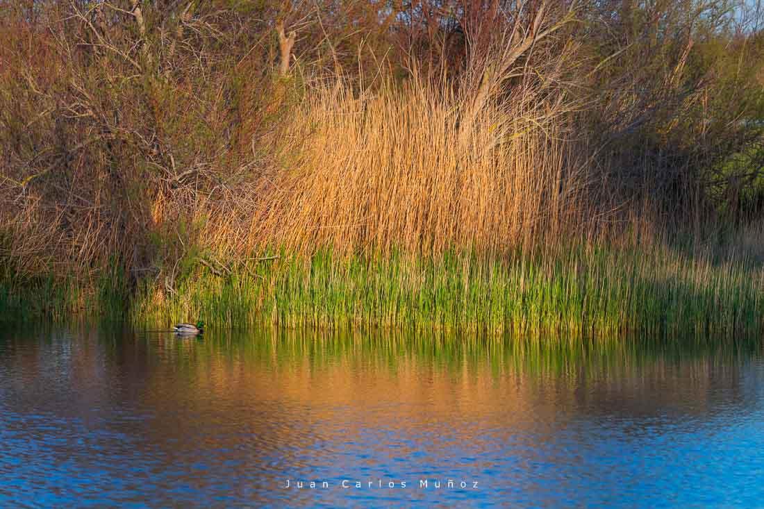 Aiguamolls de l'Emporda Natural Park, Gulf of Roses, Alt Emporda, Emporda region, Girona Province, Catalonia, Spain