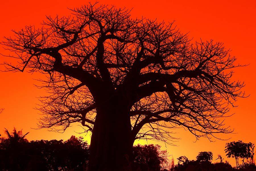 baobab africano  mozambique