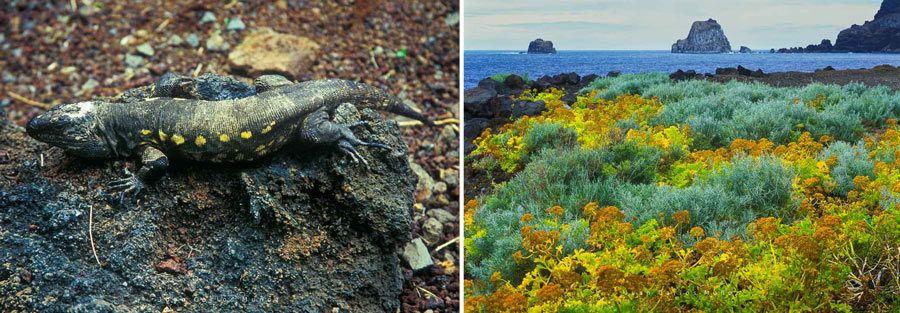 Lagarto gigante el hierro, Golfo de Roques Salmor