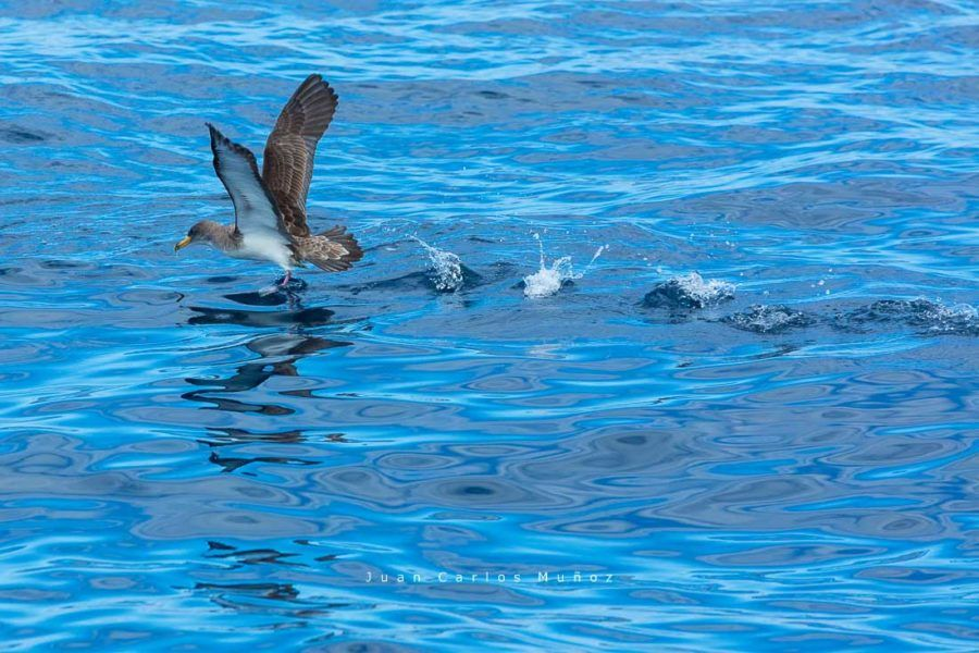 Cory's shearwater (Calonectris diomedea),