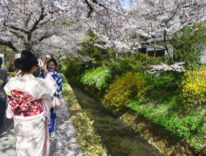 viajes a Japón, viaje a Kioto, cerezos en flor