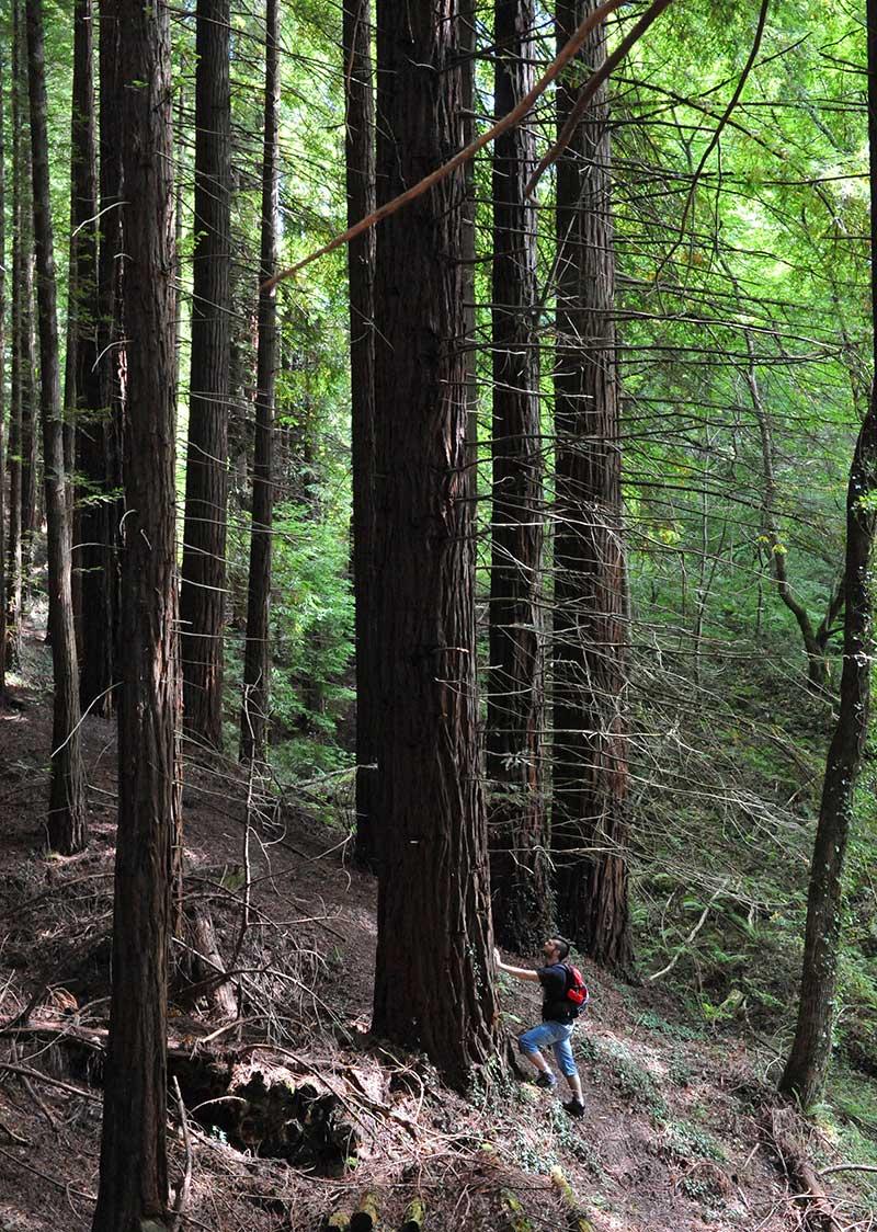 bosque secuoyas, rutas originales cantabria