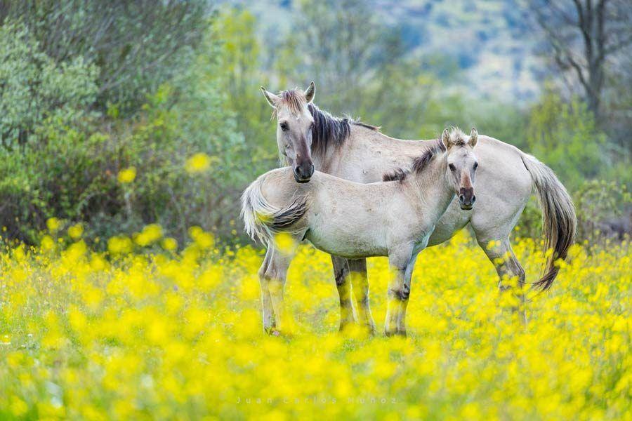 caballos, portugal, faia brava