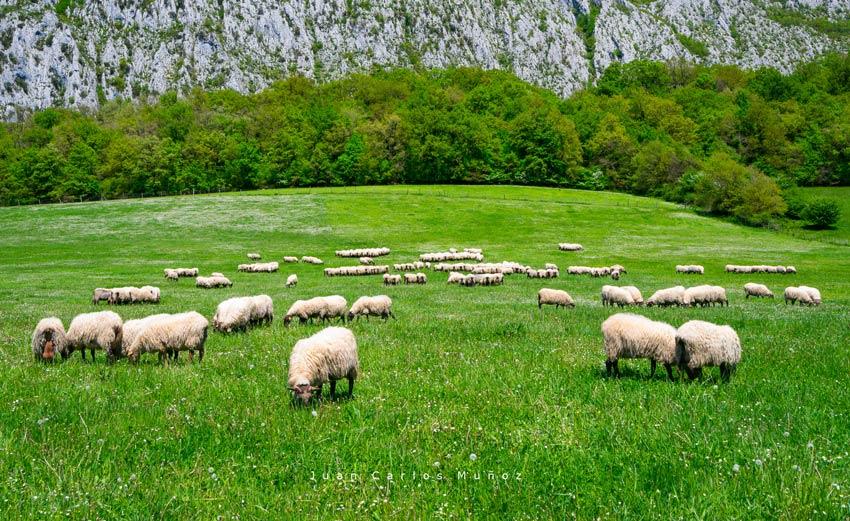 ovejas en la sierra de urbasa