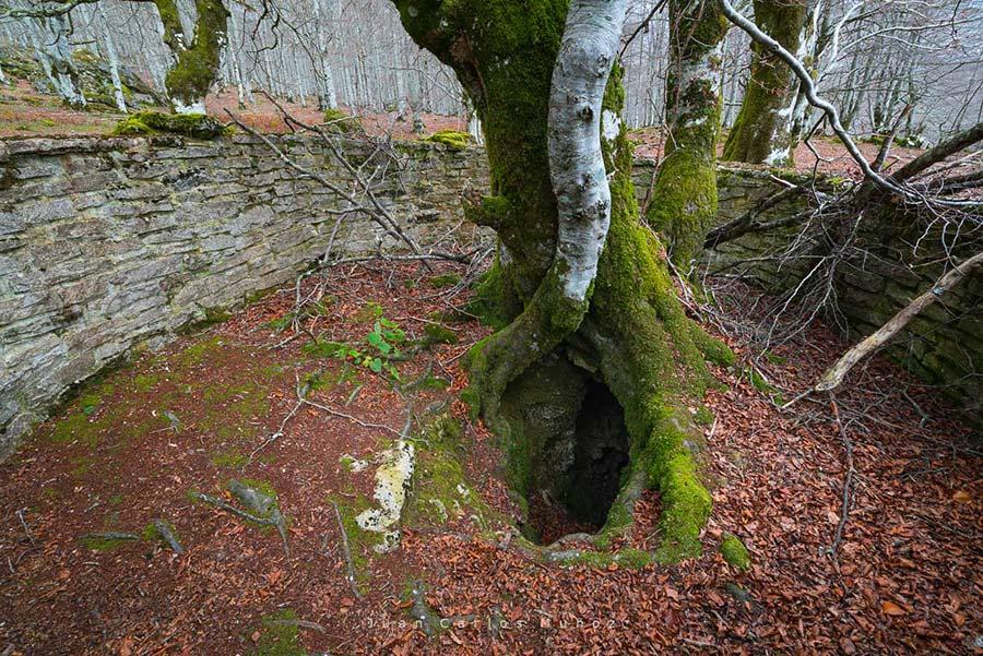 troncos retorcidos del hayedo de urbasa