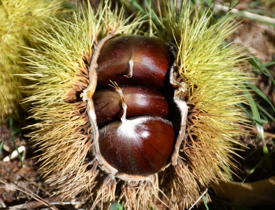 fruto del castano en la semana de la castana de jubrique