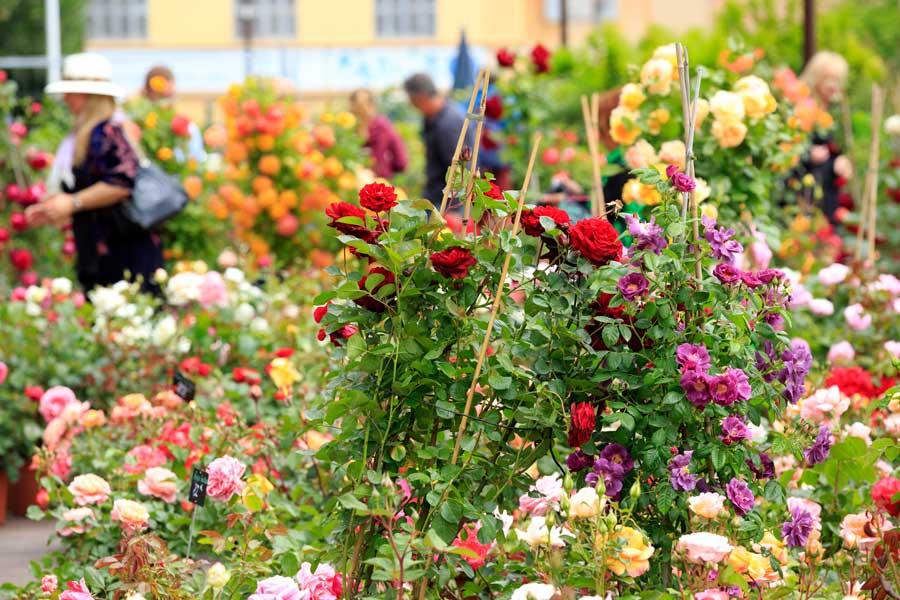 Rosas en Grasse