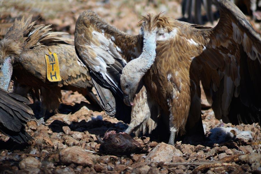 buitres en la reserva Reserva Nacional de Caza de Boumort
