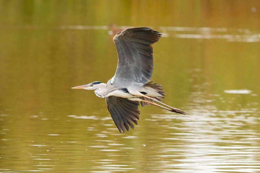 Garza real en el Parque Nacional de Doñana.