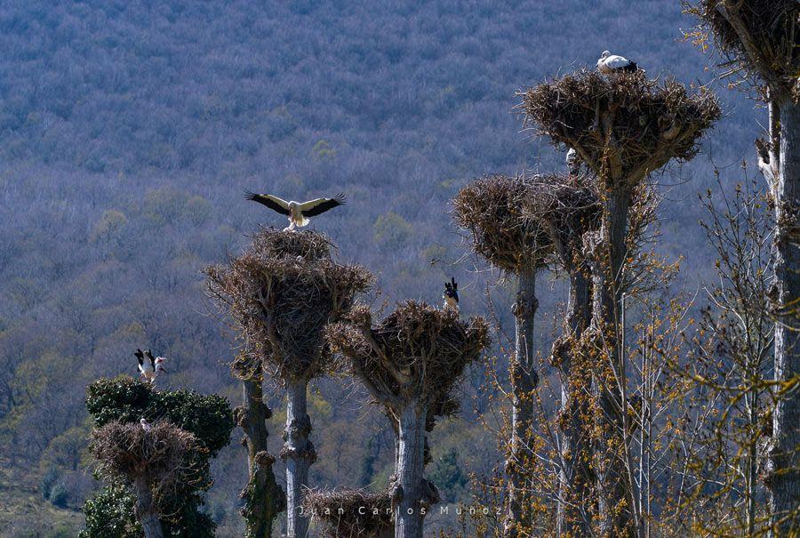 ciguenas en valle valdeolea cantabria