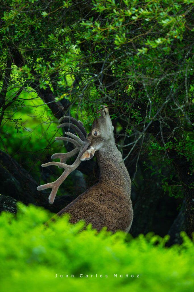ciervo en asturias