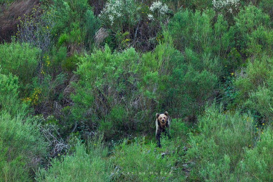 via verde oso pardo asturias