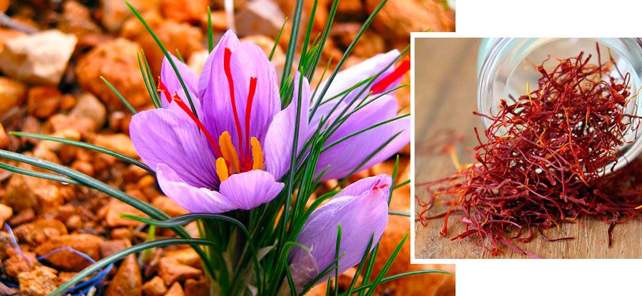 flor pistilos de azafran en madridejos