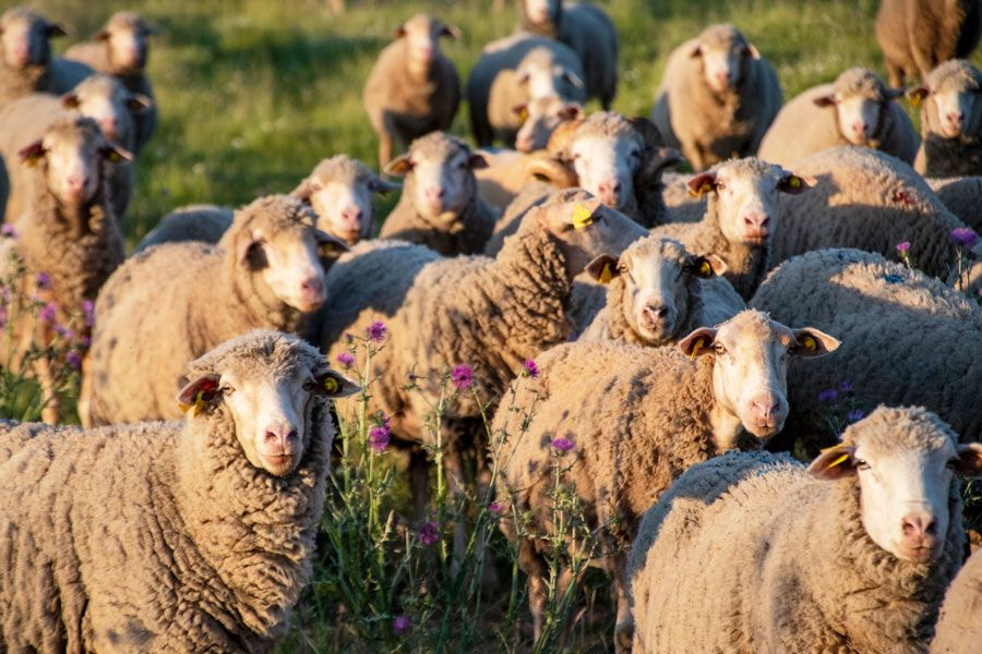 ovejas la siberia extremena