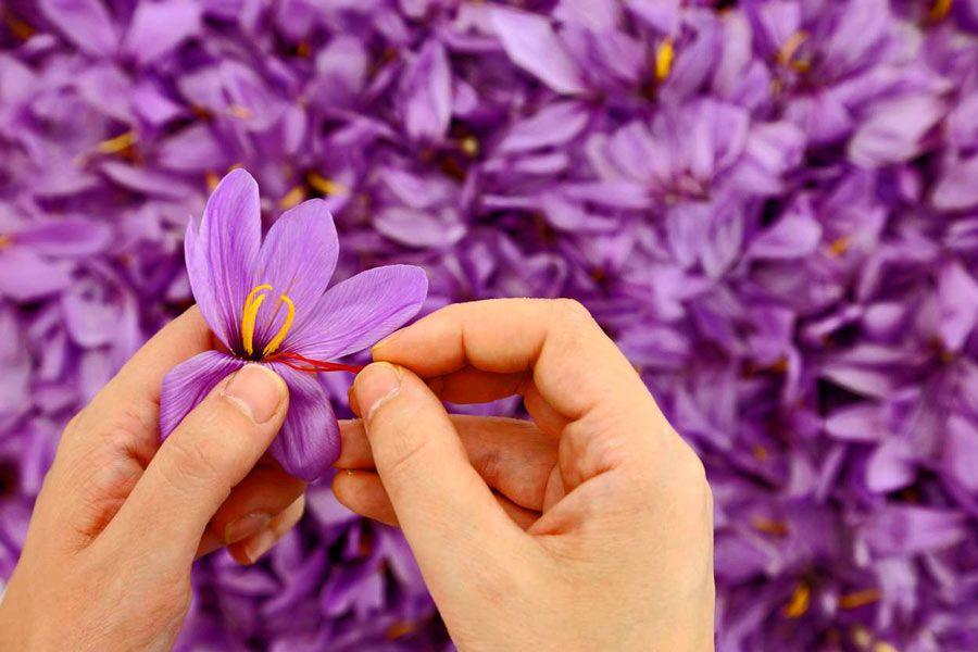 pistilos flor azafran